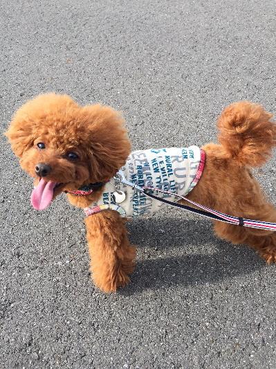トイプードルレッド成犬メス画像
