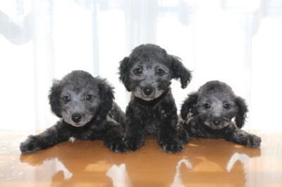 トイプードルシルバーの子犬オス2頭メス1頭、生後2ヶ月画像