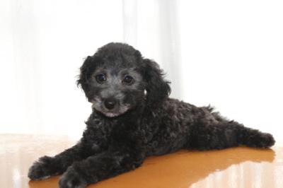 トイプードルシルバーの子犬オス、生後2ヶ月画像
