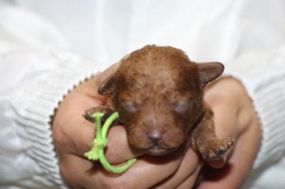 トイプードルレッドの子犬オス、生後2週間