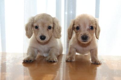 カニンヘンダックスの子犬メス2頭、クリームとゴールド画像