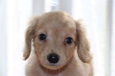 カニンヘンダックスクリームの子犬メス、生後45日画像
