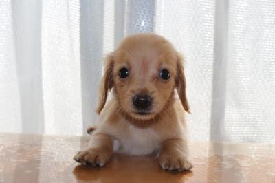 カニンヘンダックスゴールドの子犬メス、生後45日画像