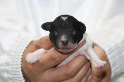 トイプードル白黒パーティーの子犬オス、生後4日画像