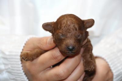 トイプードルレッドの子犬オス、生後5日画像