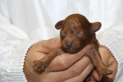 トイプードルレッドの子犬、メス、生後5日画像