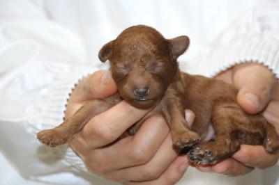 トイプードルレッドの子犬メス、生後5日画像