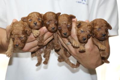 トイプードルレッドの子犬オス4頭メス2頭、生後2週間画像