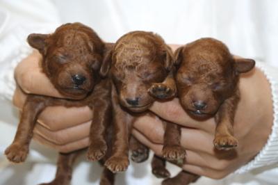 トイプードルレッドの子犬オス2頭メス1頭、生後10日画像