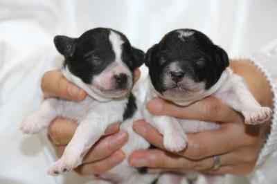 トイプードル白黒パーティーの子犬オス2頭、生後1週間画像