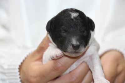 トイプードル白黒パーティーの子犬オス、生後1週間画像