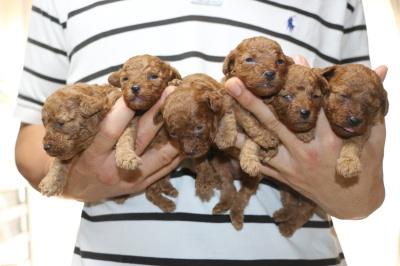 トイプードルレッドの子犬オス4頭メス2頭、生後3週間画像