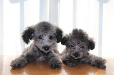 トイプードルシルバーの子犬オス1頭メス1頭、生後2ヶ月画像