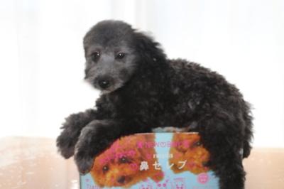 トイプードルシルバーの子犬オス、生後2ヶ月半画像