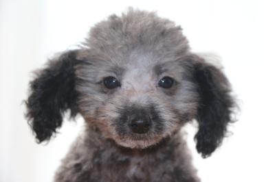 トイプードルシルバーの子犬メス、生後2ヶ月半画像