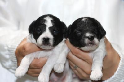 トイプードル白黒パーティーの子犬オス2頭、生後2週間画像