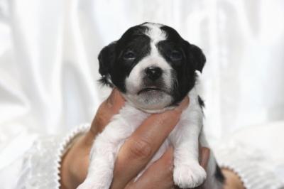 トイプードル白黒パーティーの子犬オス、生後2週間画像