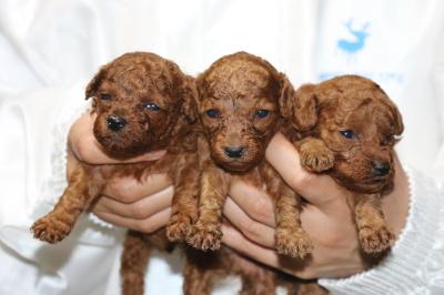 トイプードルレッドの子犬オス2頭メス1頭、生後3週間画像