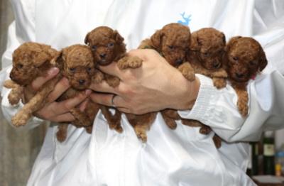 トイプードルレッドの子犬オス4頭メス2頭、生後4週間
