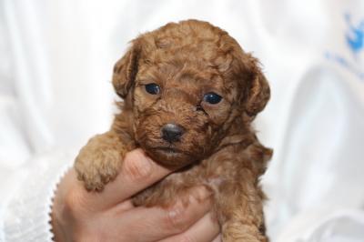 トイプードルレッドの子犬オス、生後4週間
