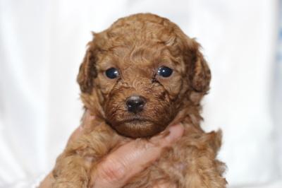 トイプードルレッドの子犬メス、生後4週間