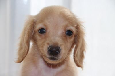 カニンヘンダックスゴールドの子犬メス、生後3ヶ月画像