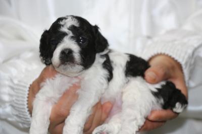 トイプードル白黒パーティーの子犬オス2頭、生後3週間画像