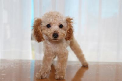 トイプードルアプリコットの子犬メス、生後3ヶ月画像