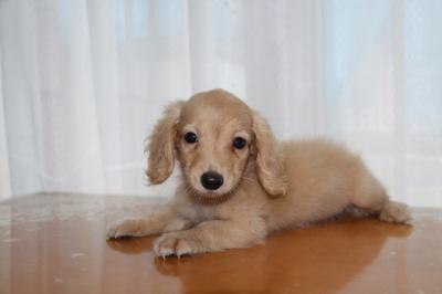 カニンヘンダックスクリームの子犬メス、生後3ヶ月画像