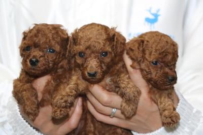 トイプードルレッドの子犬オス2頭メス1頭、生後4週間画像