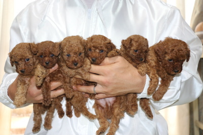 トイプードルレッドの子犬オス4頭メス2頭、、生後5週間画像