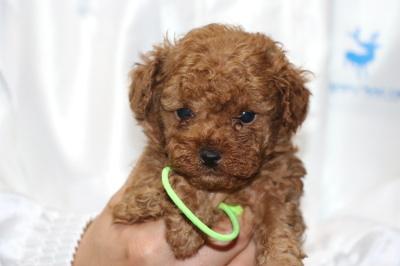 トイプードルレッドの子犬オス、、生後5週間画像