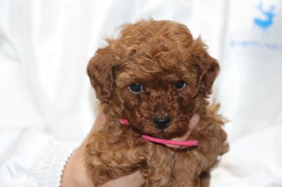 トイプードルレッドの子犬メス、、生後5週間画像