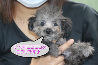 ティーカッププードルシルバーの子犬メス、生後4ヶ月画像