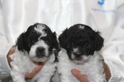 トイプードル白黒パーティーの子犬オス2頭、生後4週間画像