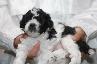 トイプードル白黒パーティーの子犬オス、生後4週間画像
