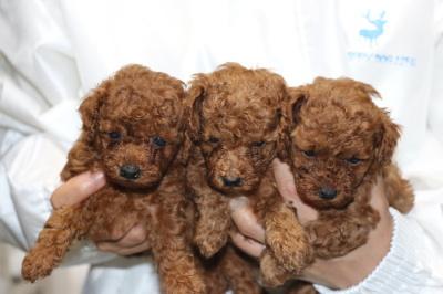 トイプードルレッドの子犬オス2頭メス1頭、生後5週間画像