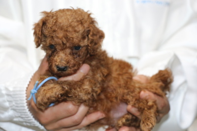 トイプードルレッドの子犬オス、生後5週間