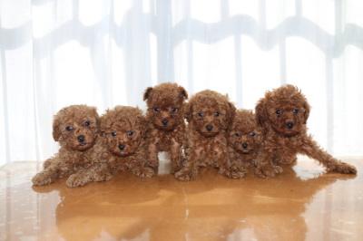 トイプードルレッドの子犬オス4頭メス2頭、生後6週間画像