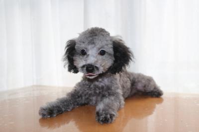 トイプードルシルバーの子犬オス、生後4ヶ月画像