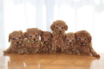 トイプードルレッドの子犬オス4頭メス2頭、生後7週間画像