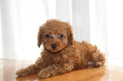 トイプードルレッドの子犬オス、生後7」週間画像