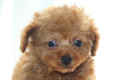 タイニーサイズトイプードルレッドの子犬メス、生後7週間画像