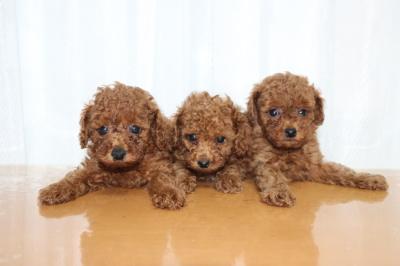 トイプードルレッドの子犬オス2頭メス1頭、生後6週間画像
