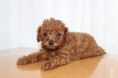 トイプードルレッドの子犬オス、生後6週間画像