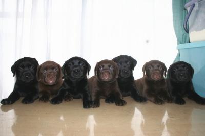 ラブラドールブラックチョコの子犬オスメス画像