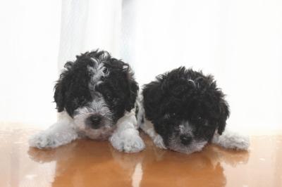トイプードル白黒パーティーの子犬オス2頭、生後6週間画像