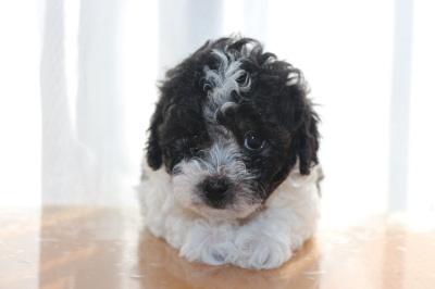 トイプードル白黒パーティーの子犬オス、生後6週間画像