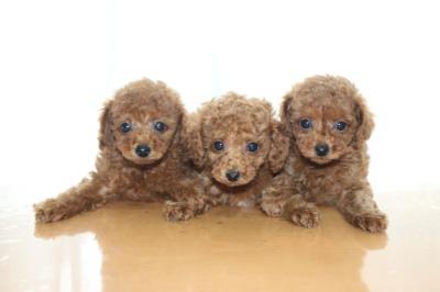 トイプードルレッドの子犬オス2頭メス1頭、生後7週間画像