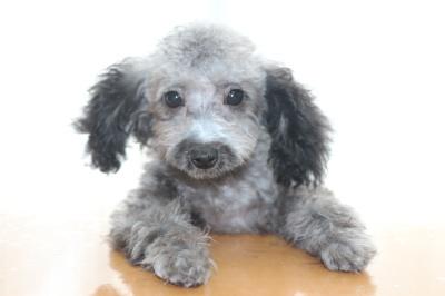 タイニーサイズトイプードルシルバーの子犬メス、生後3ヶ月半画像